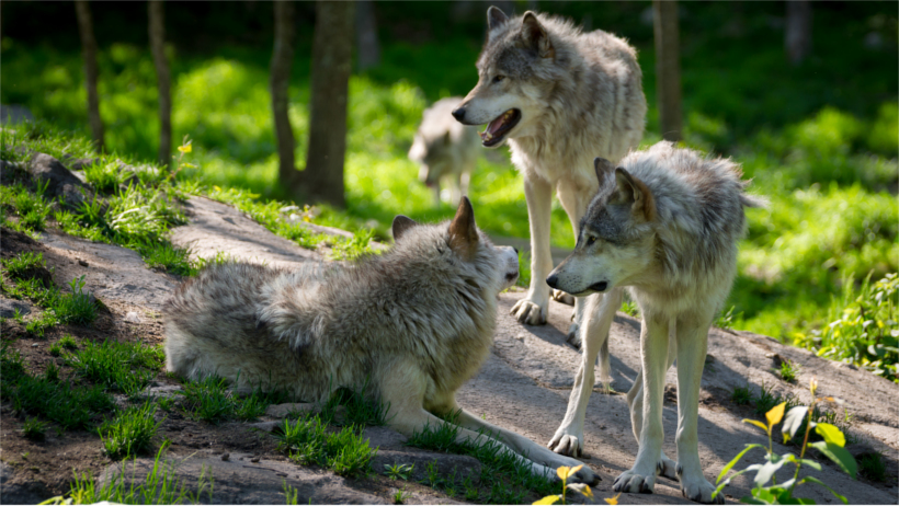4 wolves