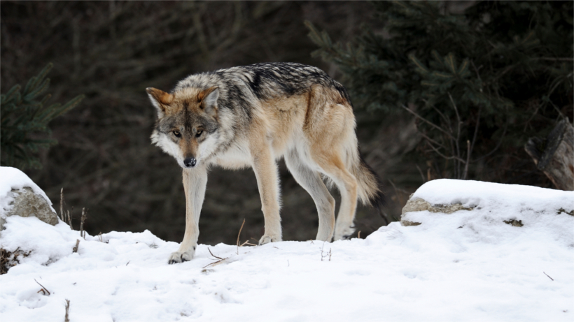 Grey wolf prowling