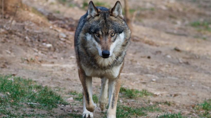 Wolf walking in field