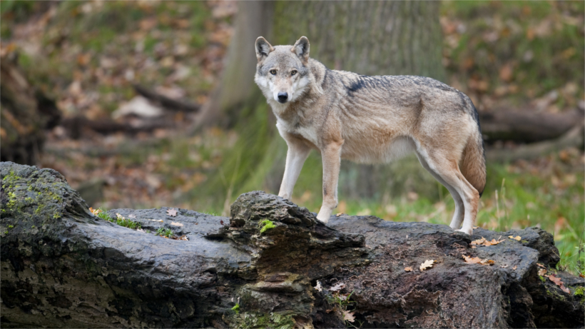 Wolf standing on rock