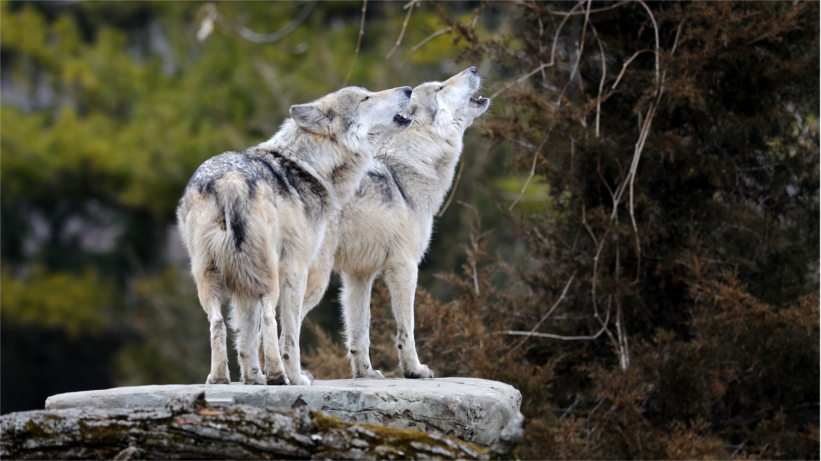 Two wolves howling