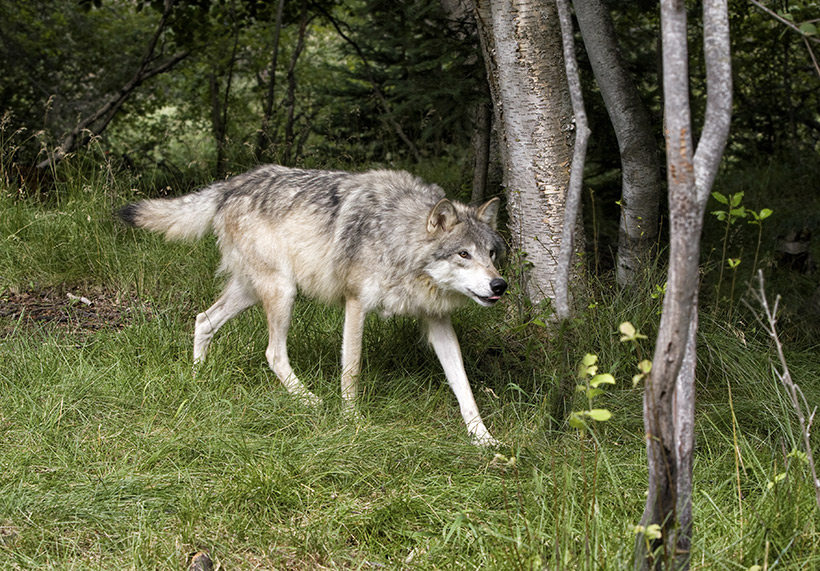 Wolf in timber