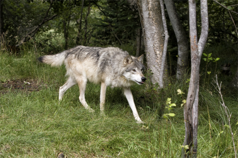 Image result for california wolf depredation