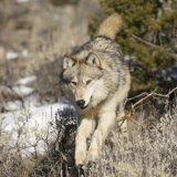 Why predators in the West need predators