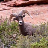 California gets grant for bighorn sheep research