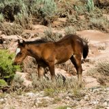 Federal funds run out for wild horses