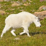 Potential over-the-counter mountain goat hunt in Wyoming