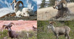 A breakdown of all four sheep species