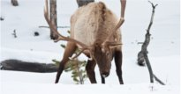 More Idaho elk opportunity?